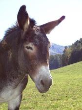 Jesse the donkey